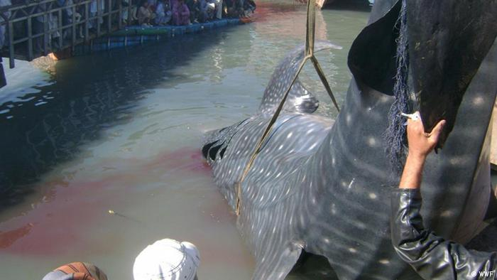 Whale shark being caught in a net