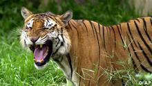 Bangladesch Tiger
