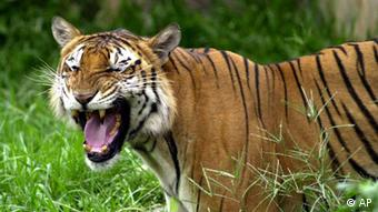 A Royal Bengal tiger at the Dhaka zoo