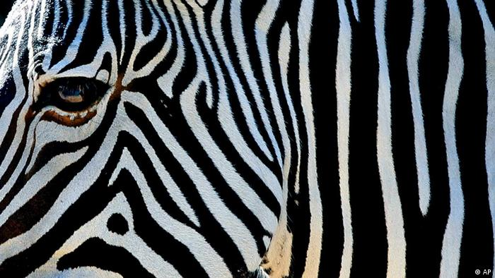 A Grevy's Zebra grazes in the Safari Africa section of Tampa's Lowry Park Zoo (Photo: AP Photo/Chris O'Meara)