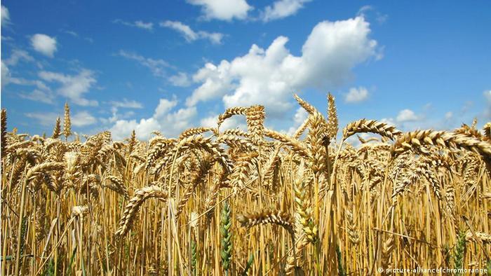 filed of grain (picture-alliance/chromorange)