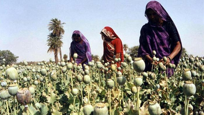 Women cultivate poppy plants Wednesday April 19, 2000 near Bhopal, India. India is a key transit route in the trafficking of drugs by Afghanistan, Pakistan and Myanmar, which together produce more than 90 percent of the world's heroin. India is a producer of opium, the chief ingredient of heroin. Opium crops are usually clandestinely grown deep inside the Indian forests where detection is difficult. (AP Photo/str)