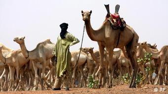 In this May 17, 2010 file photo, a nomad from the Tuareg tribe of the Sahara Desert brings his herd for vaccination to a team of U.S. Special Forces in the Sahara Desert handing out aid near the town of Gao in northeastern Mali. With almost no resistance, al-Qaida in the Islamic Maghreb, or AQIM, is implanting itself in Africa's soft tissue, choosing as its host Mali, one of the poorest nations on earth. Although AQIM's leaders are Algerian, it recruits people from Mali, including 60 to 80 Tuareg fighters, the olive-skinned nomads who live in the Sahara desert, according to a security expert who spoke anonymously because of the sensitivity of the matter. (AP Photo/Alfred de Montesquiou, File)