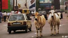 Indien Kühe