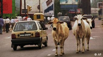 Cattle wander freely down a road in New Delhi, August 1995. (AP Photo/CraigFujii)