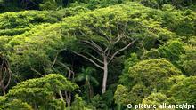 ARCHIV - Dichter Atlantischer Regenwald, aufgenommen auf der Ilha do Cardoso im Bundesstaat Sao Paulo (Archivfoto vom 05.01.2006). Der Mensch spielt durch den hohen Ausstoß an Klimagasen möglicherweise «russisches Roulette» mit dem Amazonas-Regenwald. Nach den neuesten Daten übertraf die Dürre 2010 dort sogar noch das extrem trockene Jahr 2005. Der Urwald könnte im schlimmsten Fall durch den Klimawandel von einem Speicher zu einer Quelle von Kohlendioxid (CO2) werden, schreiben britische und brasilianische Forscher in der Zeitschrift «Science». Foto: Ralf Hirschberger dpa (zu 1450 - Sperrfrist: 3. Februar 2000) +++(c) dpa - Bildfunk+++