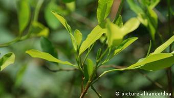 Koka-Pflanze