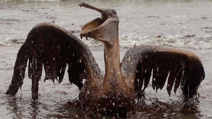 Pelican covered with oil in Gulf of Mexico (AP)