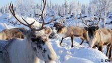 Rentiere Lappland Schweden