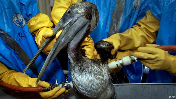 A Brown Pelican is cleaned from oil