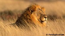 Männlicher Löwe im Etosha National Park, Namibia