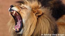 Männlicher Löwe brüllt
