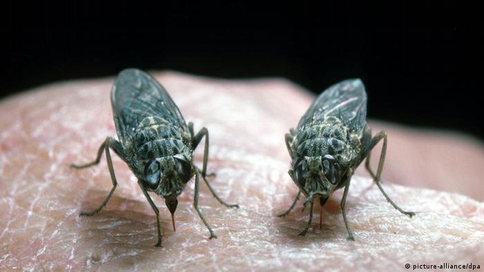 Tsetse Fliege