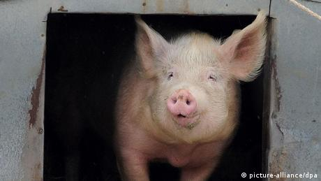 Pig Number 5 at My Little Farm (Copyright: Bernd Settnik dpa/lbn)