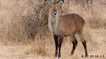 A waterbuck pictured in the Serengeti national park.