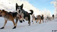 Cães de trenó em meio à neve