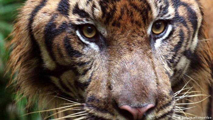 A sumatran tiger (photo: EPA/BAGUS INDAHONO +++(c) dpa - Bildfunk)