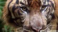 Sumatra-Tiger. EPA/BAGUS INDAHONO  +++(c) dpa - Bildfunk+++null