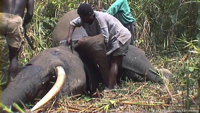** TO GO WITH STORY SLUGGED ELEFANTES CAZA ILEGAL ** In this image made from video released by Karl Amman, a wildlife photographer and investigator into the illegal trade in animals, poachers skin a forest elephant for its meat and tusks in the Bangui forest, May 3, 2007. Most people believe international demand for ivory is the biggest threat to elephants. But while wildlife experts are meeting in the Netherlands through June 16 to discuss the ban on the ivory trade, forest elephants, perhaps the most endangered elephant species in the world, are being hunted to extinction not only for their tusks, but for their meat. (AP Photo/Courtesy Karl Amman) ** MANDATORY CREDIT- NO SALES **