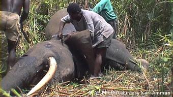 Poachers skin a forest elephant for its meat and tusks in the Bangui forest