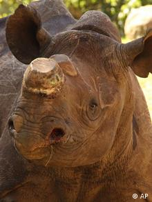 Live rhino with horn removed