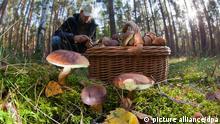 Ein Mann sammelt Pilze. Im Vordergrund Pilze und ein mit Pilzen gefüllter Korb