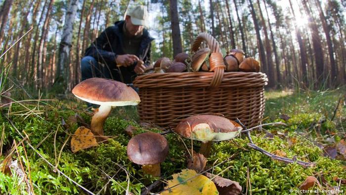 Ein Mann sammelt in einem Waldstück unweit der brandenburgischen Ortschaft Briesen (Oder-Spree) Pilze, aufgenommen am 04.10.2009. In dem Kiefernwaldstück fand er vor allem Maronen und vereinzelt auch Steinpilze. Das feuchte und immer noch milde Wetter der vergangenen Tage lässt die Pilze in vielen Brandenburger Wäldern aber äußerst unterschiedlich spießen. Foto: Patrick Pleul dpa/lbn +++(c) dpa - Report+++