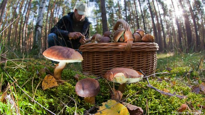 Man gathering mushrooms in forest