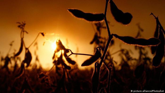 A soybean field Copyright: Ubaldo Gonzalez/yb