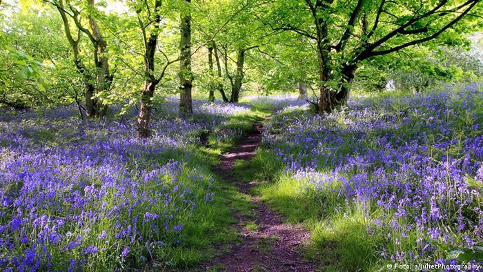 Ein Fußweg zwischen Blumen und Bäumen im   Blue Bells Forest, Großbritannien