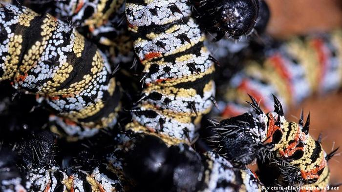 Botswana Insekten Mopane Raupen