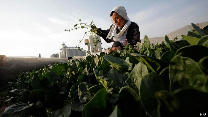 An 83-year old farmer weeds a spinach field