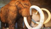 ARCHIV - Die Nachbildung eines asiatischen Mammuts, das vor rund 3500 Jahren gelebt hat, gehört zu den Exponaten einer Ausstellung über die Eiszeit, aufgenommen am 11.06.1999 im Römer- und Pelizaeus-Museum in Hildesheim. Japanische Forscher möchten ein Klon-Mammut zum Leben bringen. Das Erbgut solle von einem Kadaver kommen, der gefroren in einem russischen Labor liege, berichtet die Zeitung «Yomiuri Shimbun» in ihrer Online-Ausgabe (Daily Yomiuri Online). «Es gibt Vorbereitungen, um dieses Ziel zu realisieren», sagte ein Professor der Universität Kyoto der Zeitung. Allerdings gab schon vor mehr als zehn Jahren derartige Ankündigungen anderer Forscher. Foto: Holger Hollemann +++(c) dpa - Bildfunk+++ Schlagworte Tiere, Natur, Wissenschaft, Museen, Ausstellungen, Klonen, Eiszeit,mammut, Japaner wollen Mammut klonen, Japan, russland