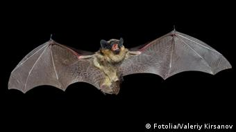 A close up of the small bat. bat; isolated; close-up; macro; animal; wing; snout; web-winged; brown; fur; rattlemouse; hair; nose; flying; on; wildlife; wild; fly; one; free; mammal; small; creature; fang; ear; chops; mouth; chap; ear; claw; wilderness; outdoor; outdoors; close up; winged; horizontal; bat; isolated; close-up; macro; animal; wing; snout; web-winged; brown; fur; rattlemouse; hair; nose; flying; on; wildlife; wild; fly; one; free; mammal; small; creature; fang; ear; chops; mouth; chap; claw; wilderness; outdoor; outdoors; close up; winged; horizontal