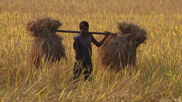 A farmer carries harvested rice on his shoulders in a paddy field at Raja Panichanda village, on the outskirts of Gauhati, India, Friday, Nov. 4, 2011. In a report released last month, ActionAid urged G-20 leaders to increase investment in small farms in poor countries warning that millions of poor farmers will be deprived of arable land to produce food due to demand for biofuels, which take up land that could be used to grow edibles, and a rush from foreign investors to control natural resources such as minerals. India was among the 10 most vulnerable in a survey of 28 poor countries conducted by the group. (AP Photo/Anupam Nath)