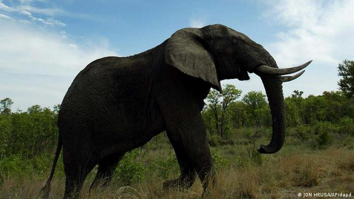 ** FILE ** In a file photo an African Elephant walks through the Kruger National Park section of the Greater Limpopo Transfrontier Park, in South Africa, Dec. 3, 2002. Environment Minister Marthinus van Schalkwyk is due Wednesday to announce how he plans to slow the population growth of elephants in South Africa. (ddp images/AP Photo/Jon Hrusa)