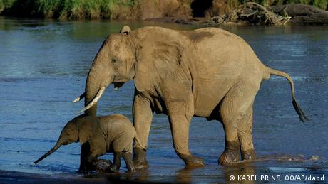An elephant and her calf in Kenya Photo: KAREL PRINSLOO/AP/dapd