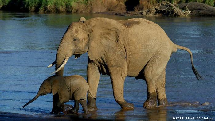 Ein Elefantenmuttertier mit Kind in einem Fluss (Foto: ddp images/AP Photo/Karel Prinsloo)