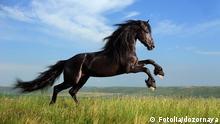 Symbolbild Schwarzes Pferd Hengst