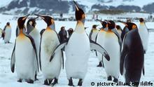 ATA, 2003 : Koenigspinguin (Aptenodytes patagonicus), Gruppe. [en] King Penguin (Aptenodytes patagonicus), group.   ATA, 2003: King Penguin (Aptenodytes patagonicus), group.