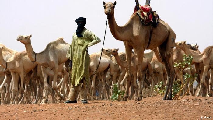 A Tuareg nomad with a herd of camels