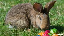 ILLUSTRATION - Ein Kaninchen und bunte Ostereier auf einer Wiese im brandenburgischen Sieversdorf (Oder-Spree), aufgenommen am 01.04.2012. Foto: Patrick Pleul