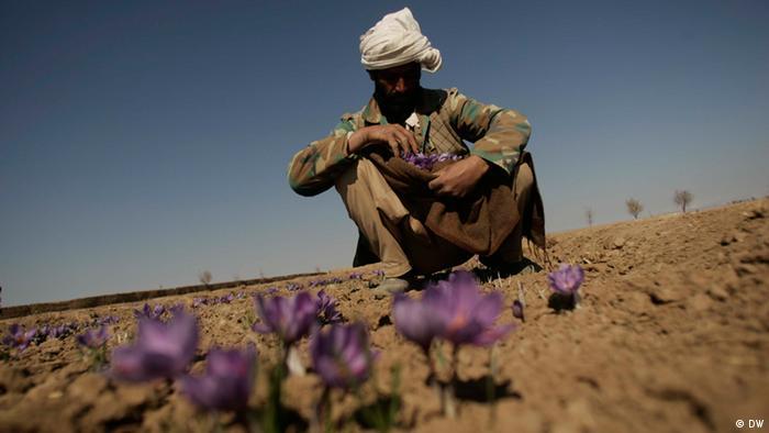 Safranernte in Herat, Afghanistan. Ein Bauer sammelt Safranblüten in seinem Rock. 08.11.2010 Quelle: Hoshang Hashimi