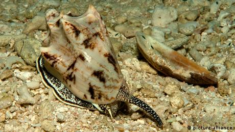 Indonesien Kegelschnecke Conidae