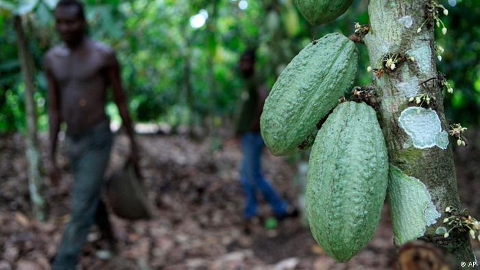 Afrika Elfenbeinküste Kakao Plantage (AP)