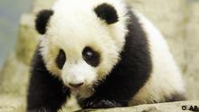 Giant panda cub Tai Shan, 4-months old, plays inside his den at the Smithsonian National Zoo, Tuesday, Nov. 29, 2005, in Washington. More than 100 reporters and camera crews from around the world got their first look at Tai Shan as they filed past his indoor enclosure in five different shifts. (AP Photo/Manuel Balce Ceneta)