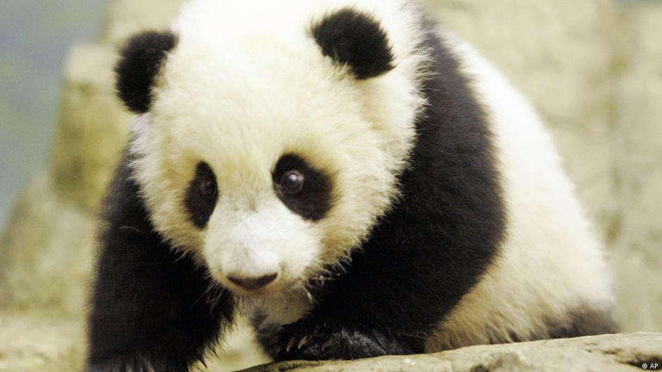 Pandabär Englisch