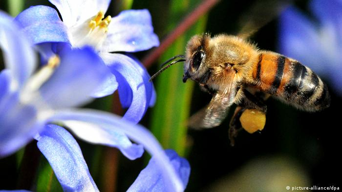 Bee flying near a glory-of-the-snow flower. Photo: Julian Stratenschulte dpa/lnw +++(c) dpa - Bildfunk+++ pixel
