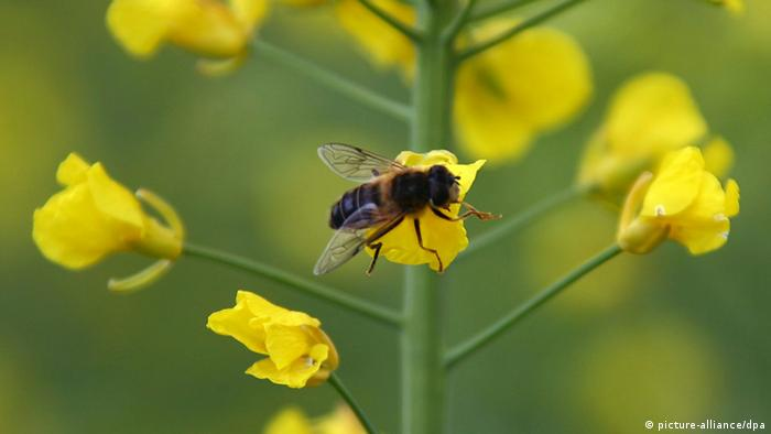 A bee flies through a rapeseed field