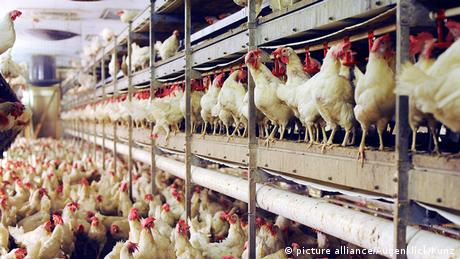Chickens packed closely together in a factory farm